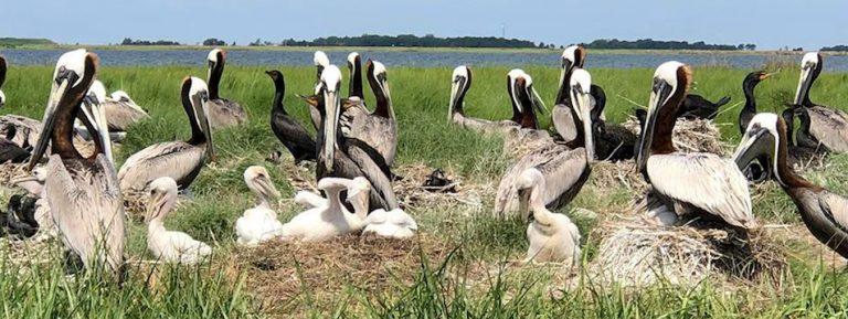 pelicans emond 2 768x289